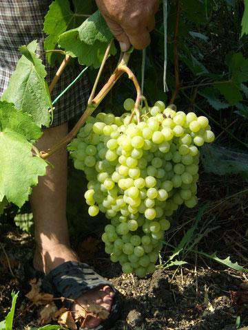 Виноград Спутник