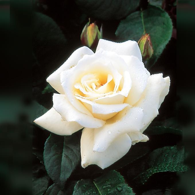 одна роза паскали чайно гибридная фото поначалу