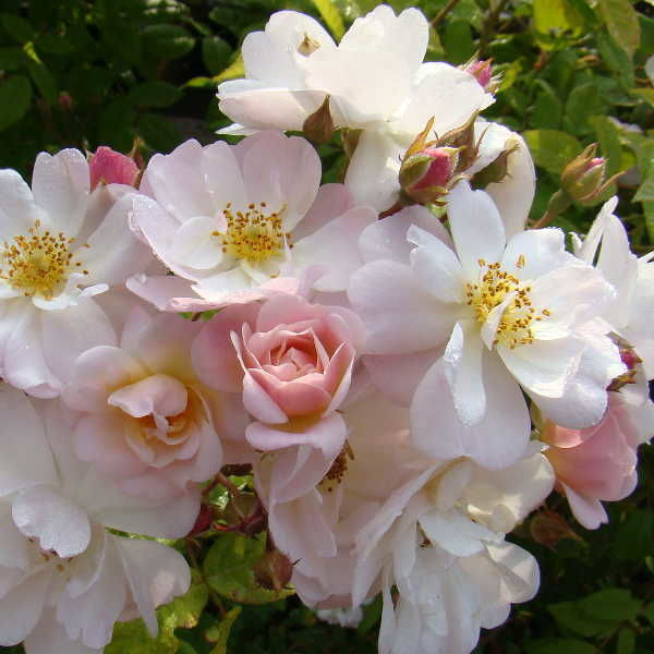 роза фонтейн плетистая дело