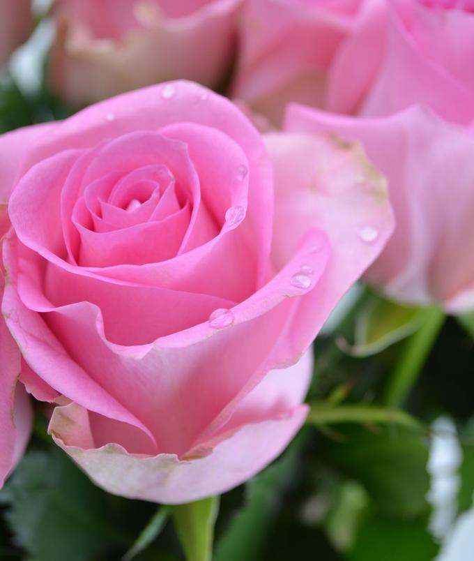 Роза ривайвл фото