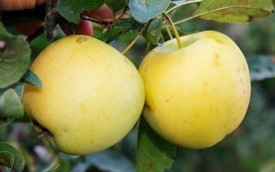 Саженец яблони Айнур с ЗКС