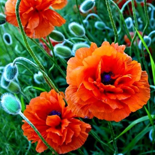 черты картинки цветка мак садовый этих