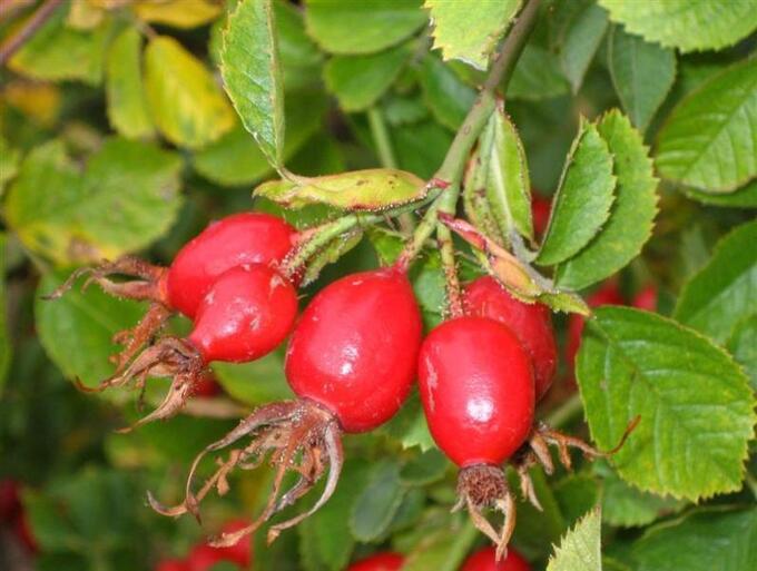 ШИПОВНИК В растении обнаружено большое количество полезных веществ: до восемнадцати процентов сахара, до одной целой и восьми десятых процента яблочной кислоты и до двух процентов лимонной, более трех