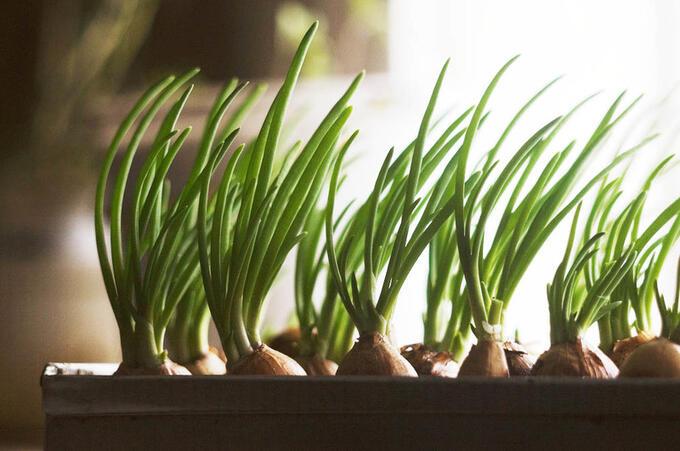 Грядка для проращивания лука гидропонная 21 ячейка