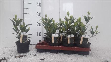 Лавр Диаметр 10 Примерная высота 25 см Второе фото реальное  Благородный Лавр ― неприхотливое растение, которое отлично подойдет начинающим цветоводам.  Тонкие одревесневающие стебли сероватого цвета