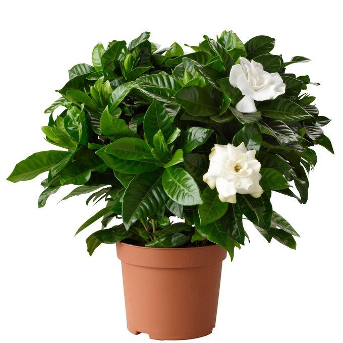Гардения Диаметр горшка: 10 см Высота примерно 15 см Все в бутонах! Аромат невероятный! Мой самый любимый комнатный цветок! Гардения жасминовидная – изысканное украшение комнаты. В высоту достигает ок