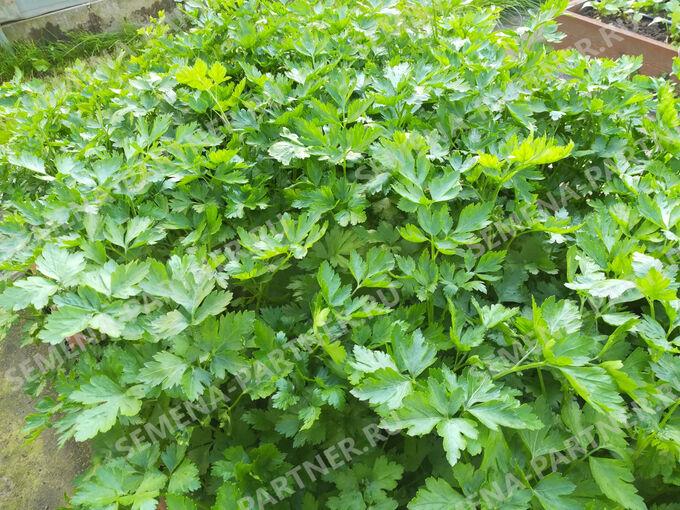 Петрушка листовая Итальянский гигант