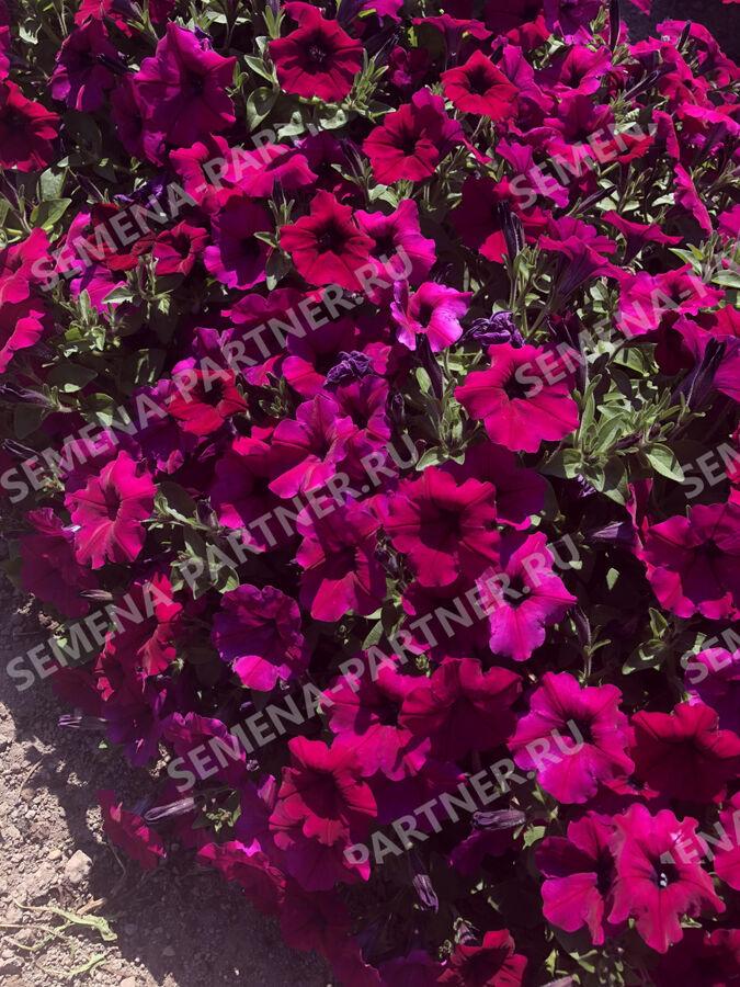 """Семена Петуния """"Ма Шери"""" Патриция F1 полуамп. фиолет.-пурпур 5 шт."""