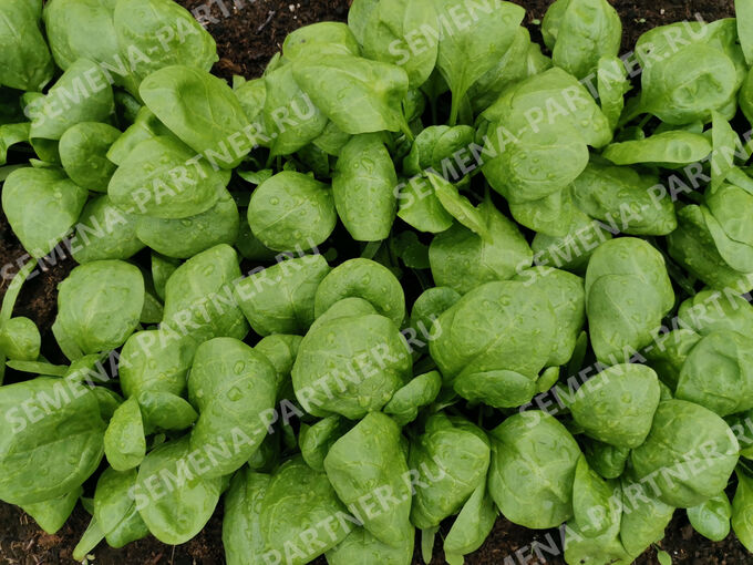 Семена Шпинат Корвер ^(1Г)