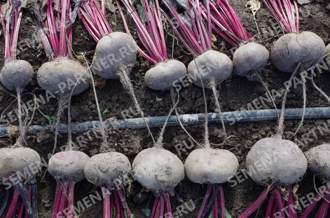 Семена Свекла Египетская плоская ^ (3Г)