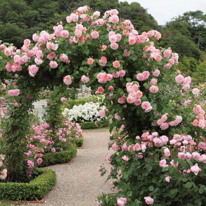 Плетистая Розовая роза