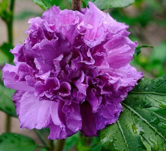 Гибискус сирийский (сорт 'FRENCH CABARET™ Purple')