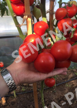 Семена Томат Антюфей F1  20 шт